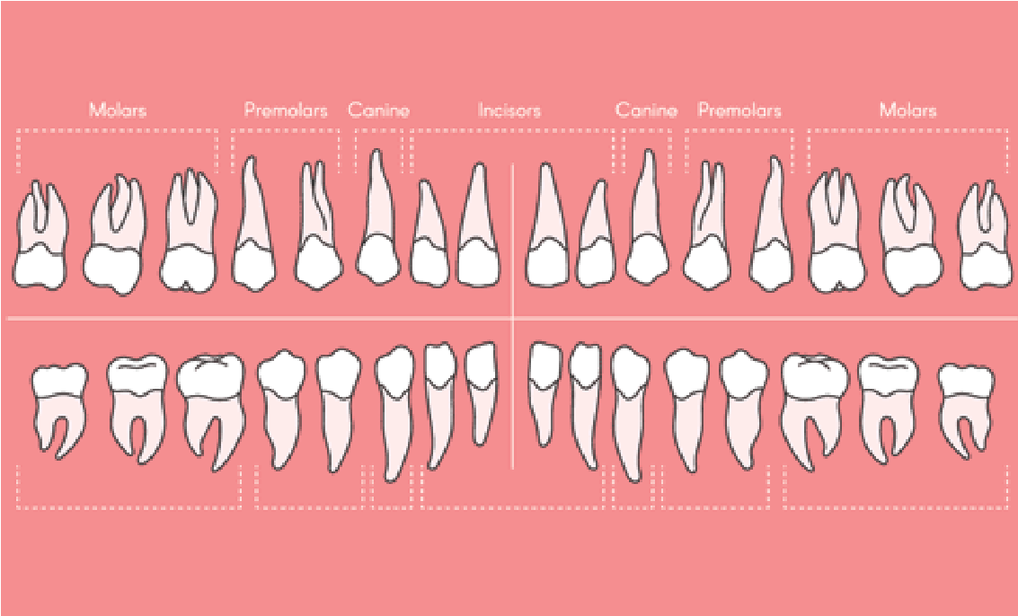 Infographic of adult teeth